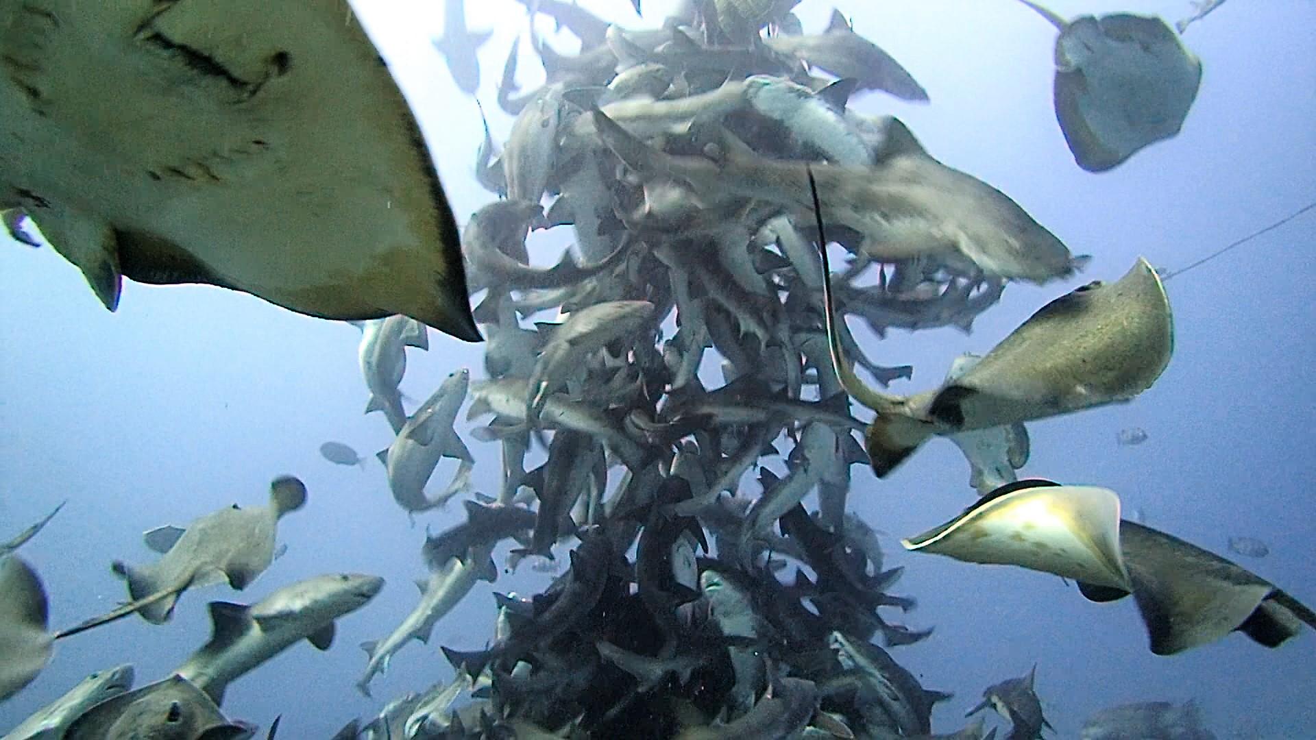 sharkdiving daytrip from Tokyo Japan Chiba Tateyama sharkscramble